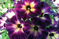 Crazytunia Moonstruck