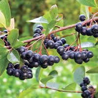 Aronia Berry Viking