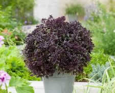 Purple Ball Basil